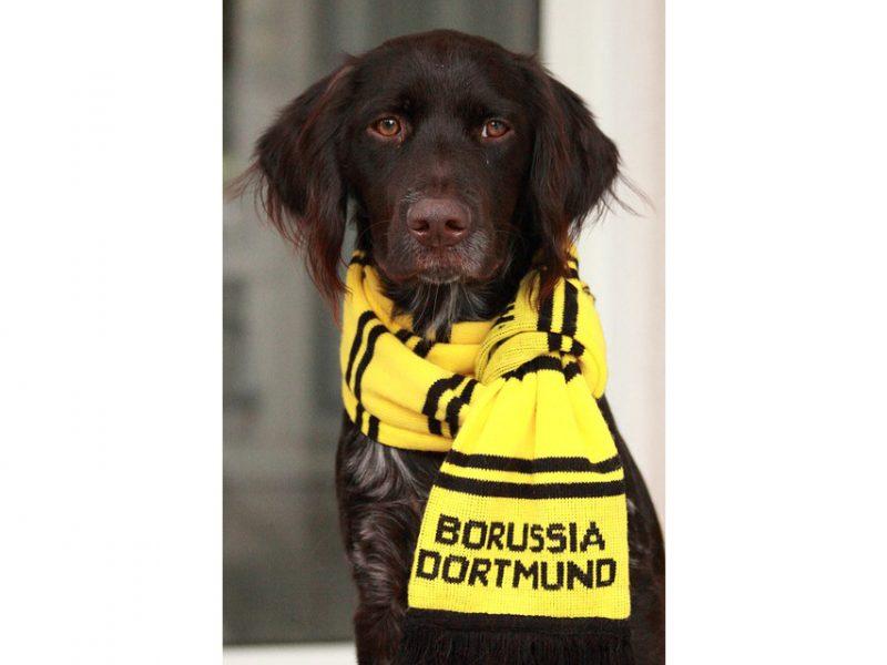 Münsterländer BVB-Fan