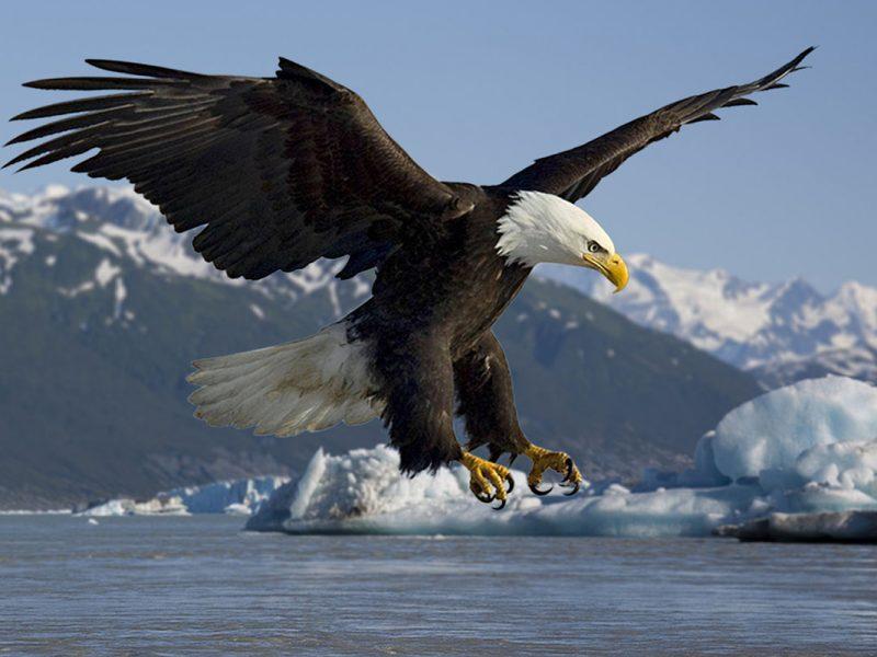 Adler statt Friedenstaube