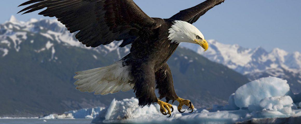 Weißkopfadler jagt