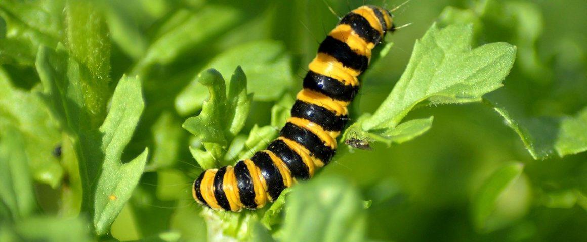 schwarz-gelbe Raupe