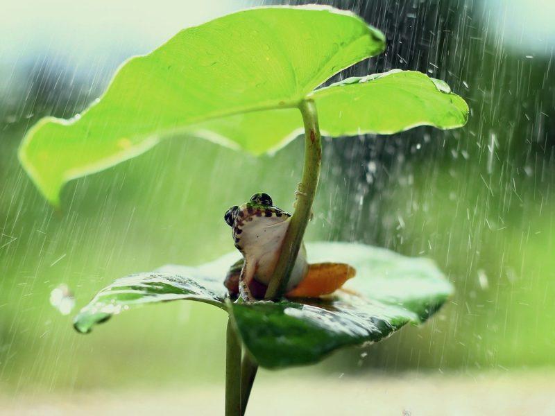 Frosch unter einem Blatt