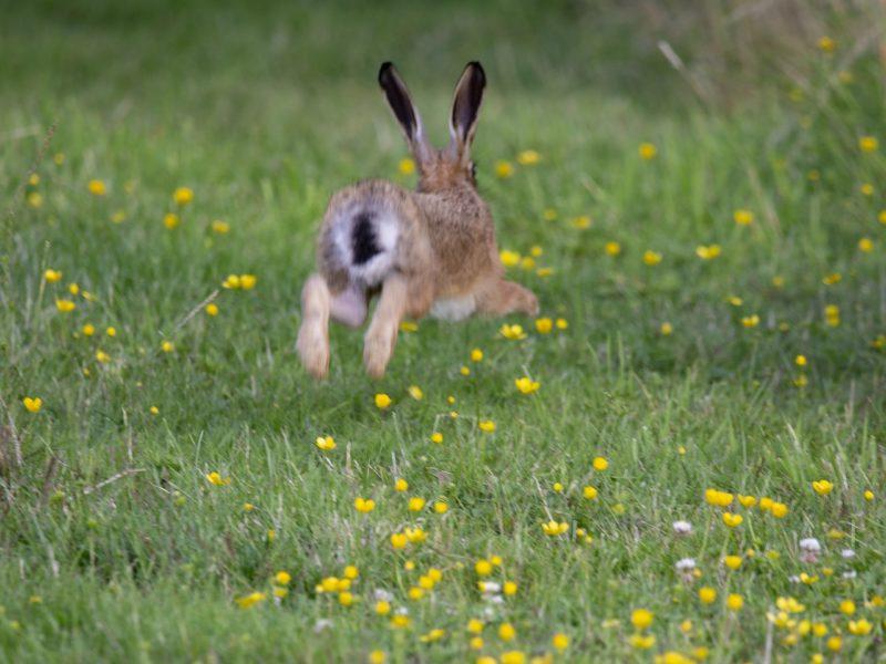 Fliehender Hase